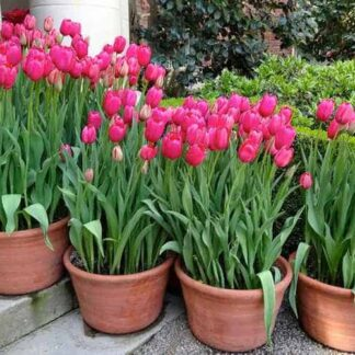 hạt giống hoa tulip
