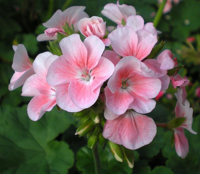 Hạt giống hoa phong lữ