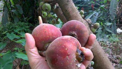 Hạt giống quả vả mật